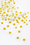 Group of Chamomile flower heads isolated on white Stock Photos