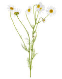 Group of  chamomile flowers on stem Stock Image