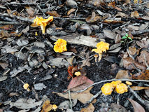 Group of Chanterelle Mushrooms Growing in Leaf Mulch. A group of bright orange colored Chanterelle mushrooms growing in leaf mulch in Florida in September Royalty Free Stock Images
