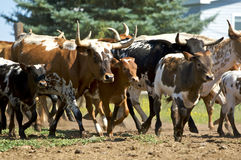 Group of Charging Cattle Stock Photography