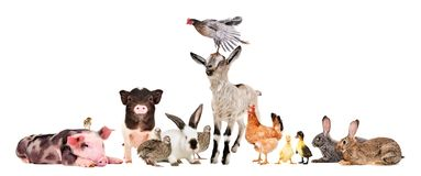 Group of cheerful farm animals. Isolated on white background stock photos