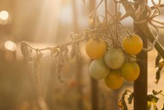 Group of cheery tomatoes in the morning light royalty free stock images