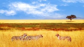 Group of cheetahs in the African savannah. Africa, Tanzania, Serengeti National Park. Wild life of Africa. stock image