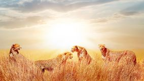 Group of cheetahs in the African savannah. against beautiful sky. Tanzania, Serengeti National Park. stock photo
