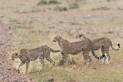 Group of cheetahs crossing country road. Pride of cheetahs crossing country road at  Masai Mara National Reserve, Kenya, East Africa Royalty Free Stock Photos