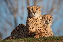 Patrol. Group of cheetahs likes a patrol looking around Stock Photography