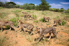 Group of Cheetahs looking for food Royalty Free Stock Image