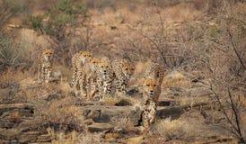 Cheetahs. A group of cheetahs running through tge bush Royalty Free Stock Photo