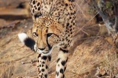 Cheetahs. A group of cheetahs running through tge bush Royalty Free Stock Photos