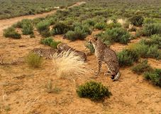 Group of cheetahs in savannah. Group of cheetahs resting on naked ground in wilderness of savannah near dirt road stock image