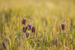A group of Chequered  lilies or chess flowers, picture taken in Northern Germany Stock Images