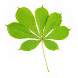 Group of chestnut green leaves Stock Image
