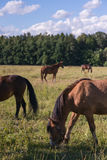 Group of chestnut horses graze in a paddock.  vector illustration