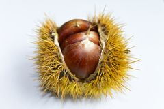 Group of chestnuts in their shell. royalty free stock photo