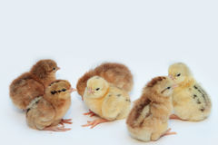 Group of chick Stock Photos