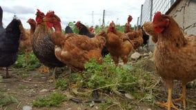 Group of chicken. Chicken in a garden in Crete Royalty Free Stock Photo