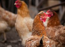Group of chickens. Outdoor in a farm Stock Photos