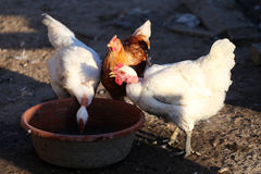 Group of chickens eating on henyard Stock Image