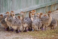 Group of chickens-ostriches with spotted necks.  royalty free stock image