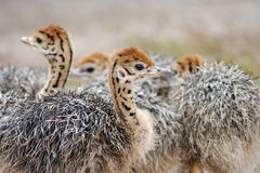 Group of chickens-ostriches with spotted necks.  stock images