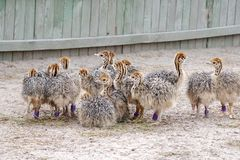 Group of chickens-ostriches with spotted necks.  royalty free stock photography
