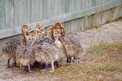 Group of chickens-ostriches with spotted necks.  stock photos