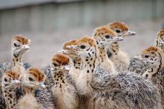 Group of chickens-ostriches with spotted necks.  royalty free stock images