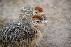 Group of chickens-ostriches with spotted necks.  royalty free stock photos