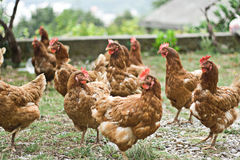 group of chickens outside Royalty Free Stock Photo