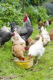 Group of chickens and rooster feeding Royalty Free Stock Photography