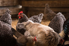 A Group of Chickens. A rooster standing in the middle of the chickens Royalty Free Stock Image