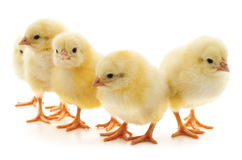 Group of chickens. Royalty Free Stock Images