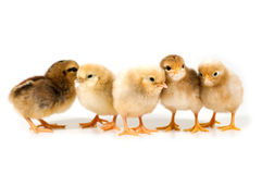 Group of chicks Royalty Free Stock Photo