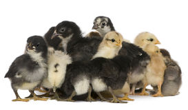 Group of chicks Royalty Free Stock Photos