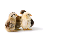Group of chicks Stock Photography