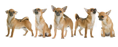 Group of Chihuahua dogs. Chihuahua dogs isolated on white background Royalty Free Stock Photo