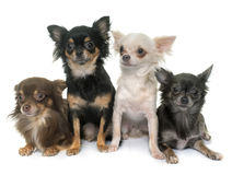 Group of chihuahua Stock Photography