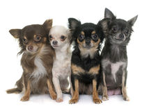 Group of chihuahua Stock Photos