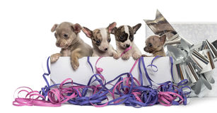 Group of Chihuahua puppies in a present box with streamers Royalty Free Stock Photo