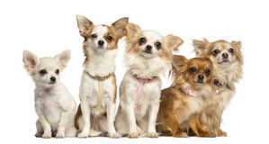 Group of Chihuahua sitting Stock Image