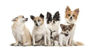 Group of chihuahua sitting, isolated Stock Image