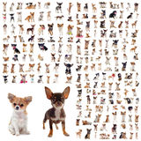 Group of chihuahuas royalty free stock images