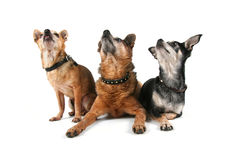 A group of chihuahuas Royalty Free Stock Photos