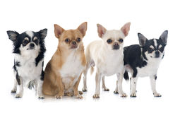Group of chihuahuas Stock Photos