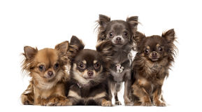 Group of Chihuahuas Stock Photography