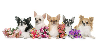Group of chihuahuas Royalty Free Stock Image