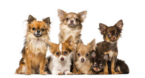 Group of chihuahuas Royalty Free Stock Photography