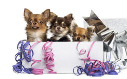 Group of Chihuahuas in a present box Royalty Free Stock Image