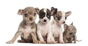 Group of Chihuahuas puppies sitting in a row, Stock Photography