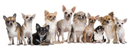 Group of Chihuahuas sitting royalty free stock image